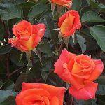 Monica-trandafiri-teahibrizi.jpg