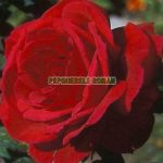 MrLincoln1-trandafiri-teahibrizi.jpg