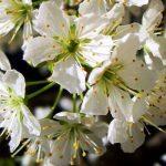 Prunus-domestica-Ameixeira.jpg