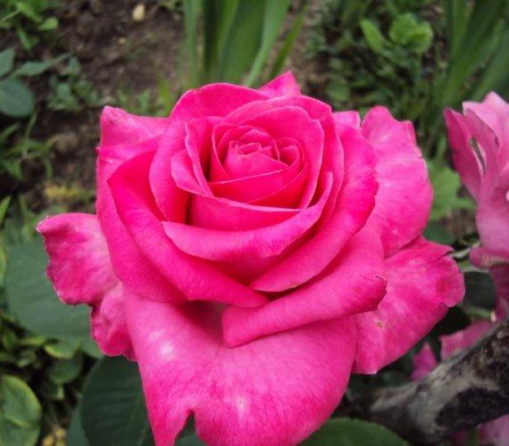 RAVEL-1-trandafiri-teahibrizi.jpg