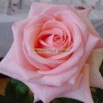 flamingo-trandafiri-teahibrizi.jpg