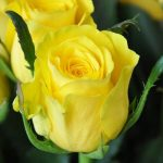 galben-1-trandafiri-teahibrizi.jpg