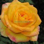 gold-medal-trandafiri-teahibrizi.jpg