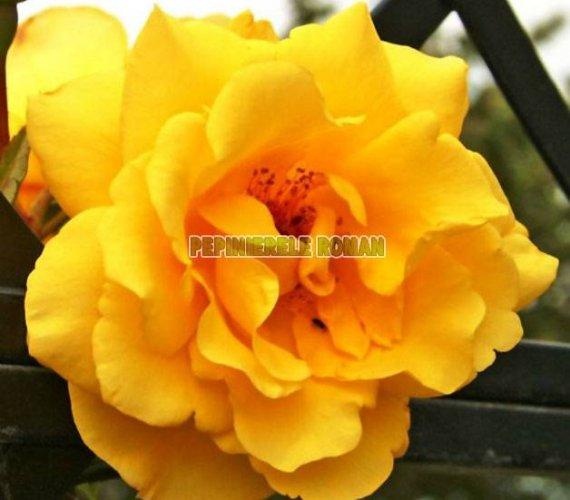 golden-gate-trandafiri-urcatori.jpg