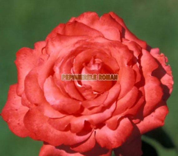 holstein-perle-trandafiri-teahibrizi.jpg