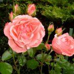 kimono1-trandafiri-teahibrizi.jpg