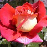 kronenbourg1-trandafiri-teahibrizi.jpg