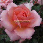 mondial-trandafiri-teahibrizi.jpg
