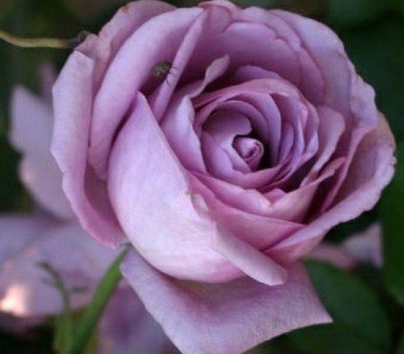 mov-2-trandafiri-teahibrizi.jpg