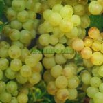 muscat-ottonel-strugure-vin.jpg