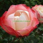nostalgia-trandafiri-teahibrizi.jpg
