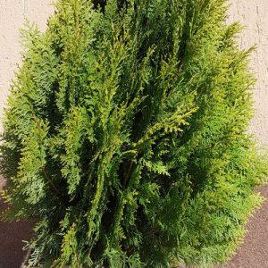 plante rasinoase