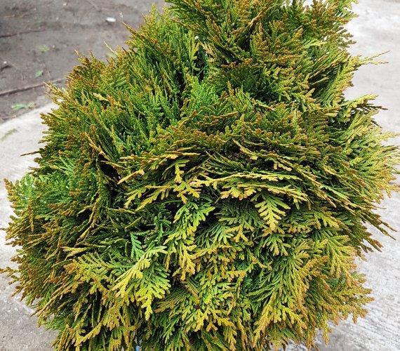 plante-rasinoase-thujaocc.goldenglobenet.jpg