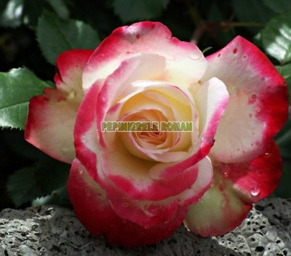 princesa-de-monaco-trandafiri-teahibrizi.jpg
