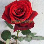 red-berlin-trandafiri-teahibrizi.jpg