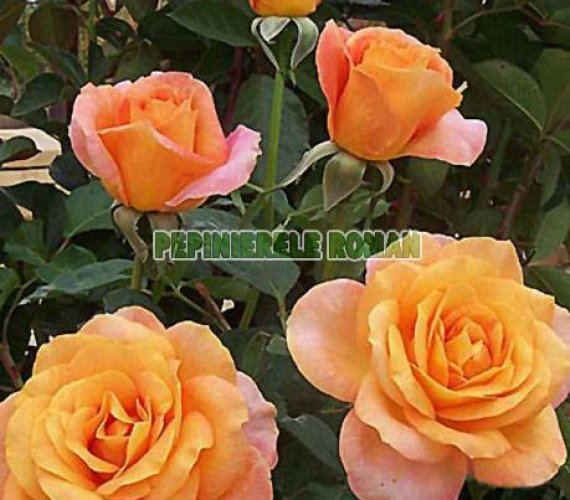 remy-martin-trandafiri-teahibrizi.jpg