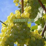 riesling-italian-strugure-vin.jpg