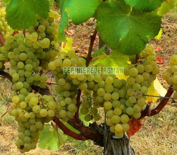 sauvignon-blanc-strugure-vin.jpg
