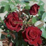 schwarze_madonna-trandafiri-teahibrizi.jpg