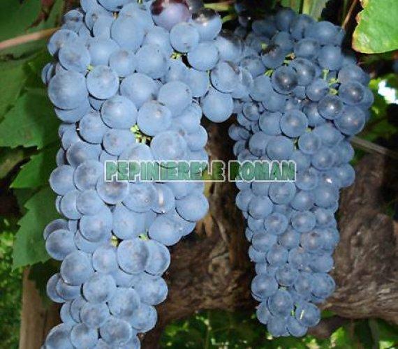 shiraz-strugure-vin.jpg