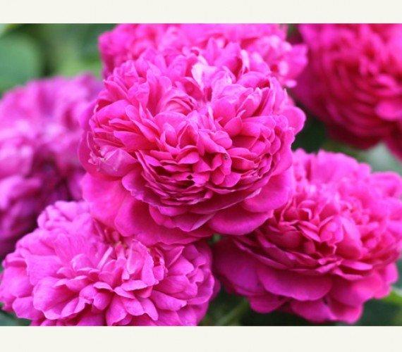 trandafiri-dulceata.jpg