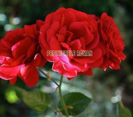 trandafiri-urcatori-sympathy-rose.jpg