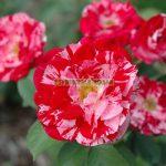 trandafiri-urcatori-twist.jpg