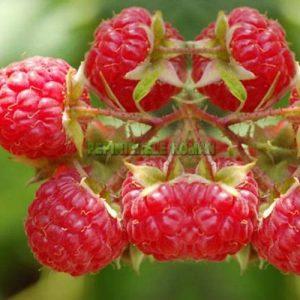 arbusti fructiferi